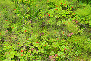 Horsetail, clubmoss and bunchberry in the Boreal Forest <br />