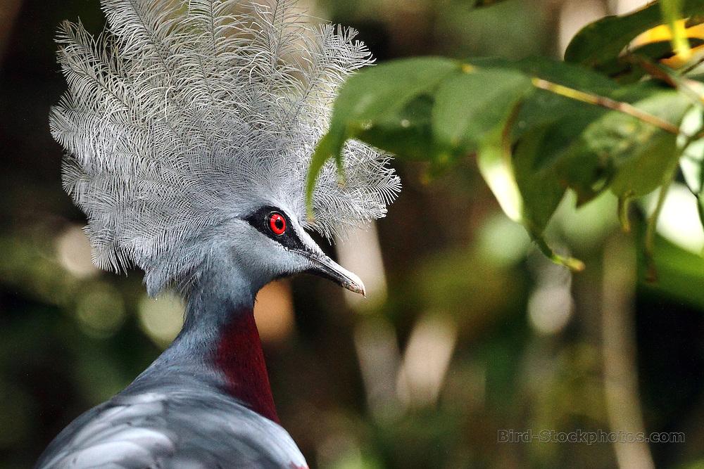 Southern Crowned Pigeon, Goura scheepmakeri, Papua New Guinea, by Markus Lilje