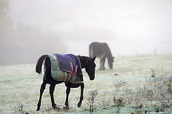 © Licensed to London News Pictures. 26/11/2016<br /> A very cold and frosty morning in the South East.<br /> Horses in a misty cold field in Orpington,Kent,<br /> Photo credit :Grant Falvey/LNP
