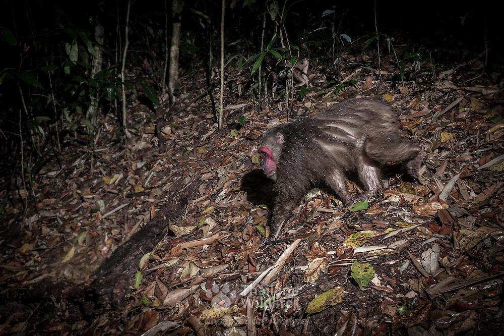 Stump-tailed macaque (Macaca arctoides) in Kaeng Krachan National Park, Thailand.