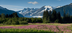 A meadow of tall fireweed booms in Brotherhood Bridge Park in Juneau, Alaska. In the background is the Mendenhall Glacier, one of the most accessible glaciers in southeast Alaska. Each year, 465,000 curise ship passengers visit the Mendenhall Glacier.