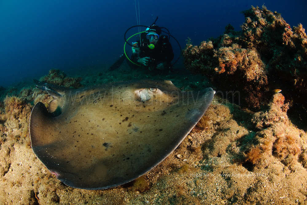 The round fantail stingray or round stingray, Taeniura grabata, is a poorly known species of stingray in the family Dasyatidae. It inhabits sandy, muddy, or rocky coastal habitats in the eastern Atlantic Ocean and the southern Mediterranean Sea. This dark-colored ray typically reaches a width of 1 m (3.3 ft), and can be identified by its nearly circular pectoral fin disk, short tail, and mostly bare skin. The round fantail stingray hunts for fishes and crustaceans on the sea floor, and exhibits an aplacental viviparous mode of reproduction. The International Union for Conservation of Nature (IUCN) does not yet have sufficient information to assess the conservation status of this species.