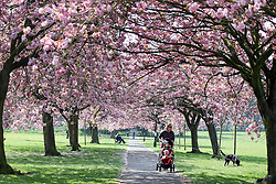 © London News Pictures. People enjoy the cherry tree walk on the stray in Harrogate, northern England 12 May 2016.This 200 acres of open grassland and verges, wraps around the main urban 'old town' of Harrogate. The Stray exists for the people of the town and is a popular spot for enjoying the sunshine..  picture by Nigel Roddis/LNP