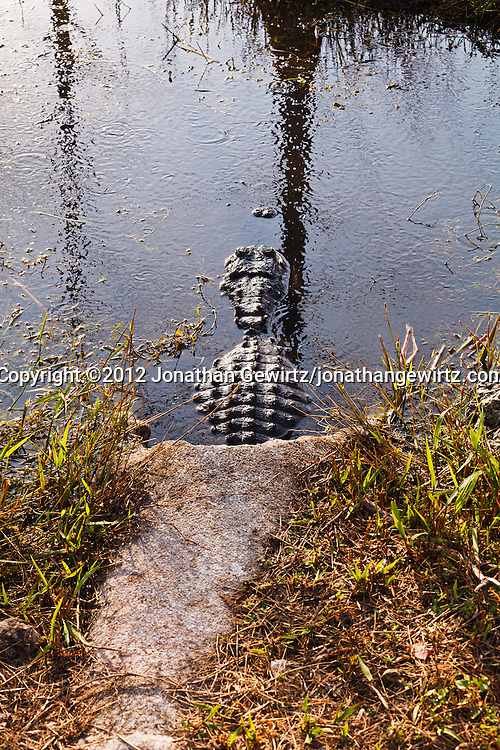 An American Allilgator (Alligator mississippiensis) is partially hidden in a concrete channel in a flooded area in Everglades National Park, Florida. WATERMARKS WILL NOT APPEAR ON PRINTS OR LICENSED IMAGES.