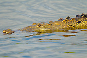 American Crocodile <br /> Crocodylus acutus <br /> San Blas, Nayarit, Mexico<br /> 7 June     Adult in water.      Crocodylidae