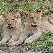 Pair of lion (Panthera leo) cubs. South Africa