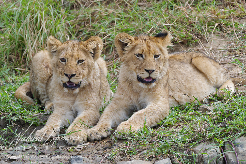 Pair of lion (Panthera leo) cubs. South Africa