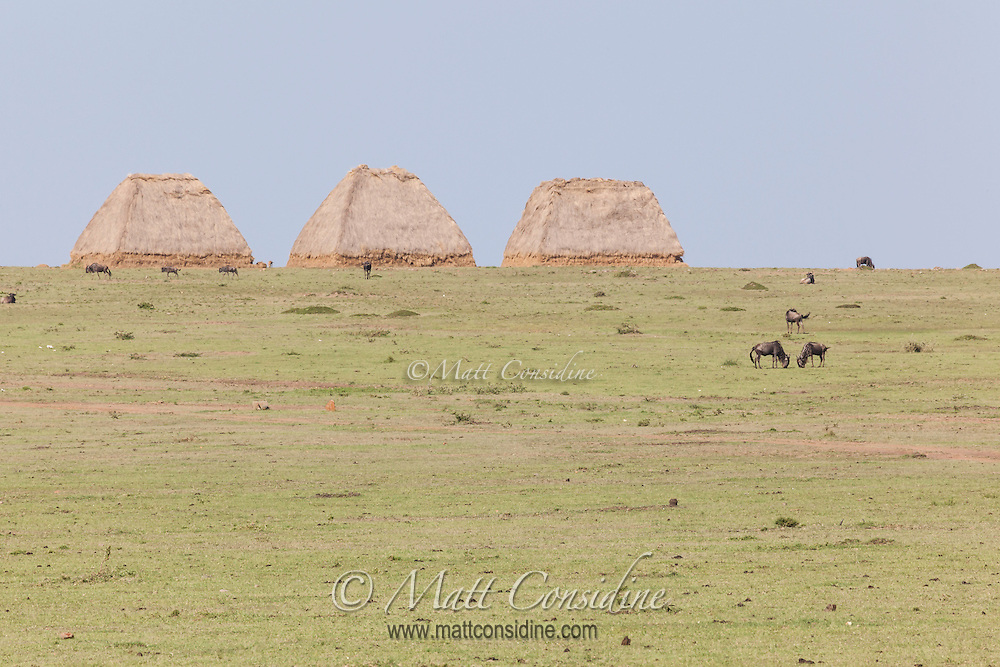 Three huge haystack drought reserves on the horizon of the plains dotted with grazing wildebeest in the Masai Mara Reserve, Kenya, Africa (photo by Wildlife Photographer Matt Considine)