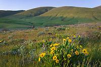 Arrowleaf Balsamroot (Balsamorhiza sagittata), Columbia Hills State Park, Washington