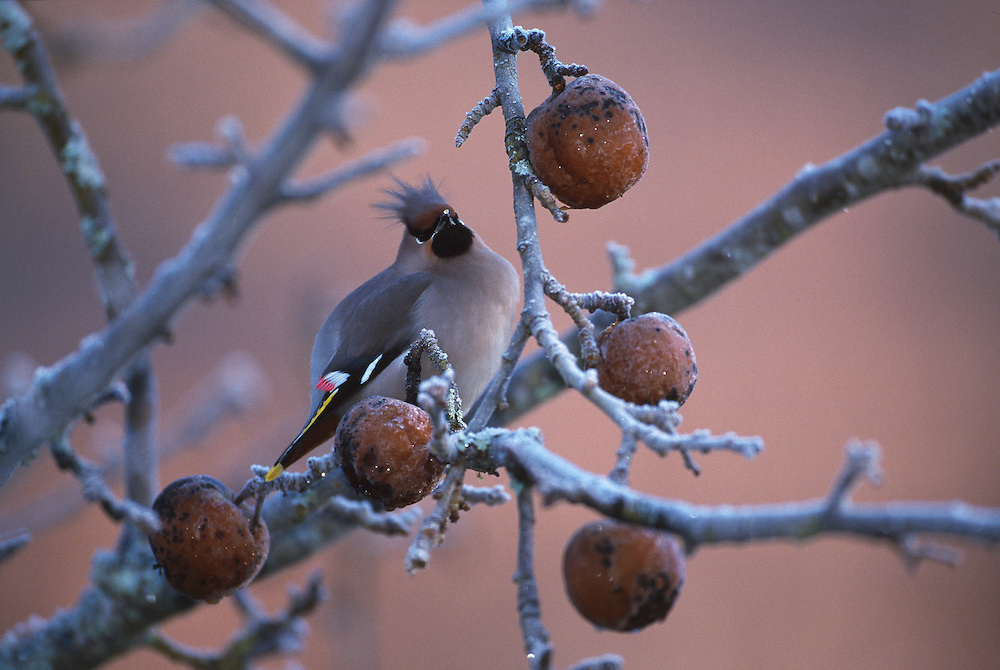 Waxwing in crab apple tree