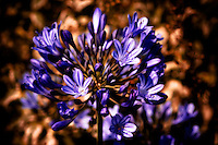 African lily against a softly focused background.