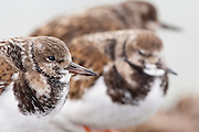 Ruddy Turnstones, Arenaria interpres, nonbreeding plumage, Barnegat Light, New Jersey