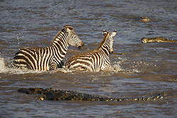 Crocodiles (Crocodylinae) surrounding two zebras (Equus quagga) crossing a river during Kenya's great migration, Masai Mara, Kenya