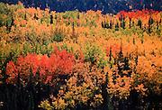 Alaska. Denali NP. Fall foliage.