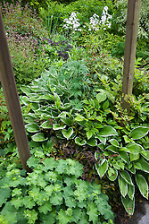 Mixed foliage plants growing under the honeysuckle arch including hostas and alchemilla mollis