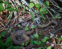 Southern Copperhead snake. Winter Nature in Florida Image taken with a Nikon D4 camera and 80-400 mm VRII telephoto zoom lens