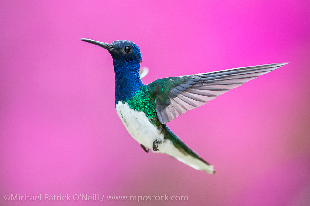 A White-necked Jacobin Hummingbird, Florisuga mellivora, photographed in Trinidad, southern Caribbean
