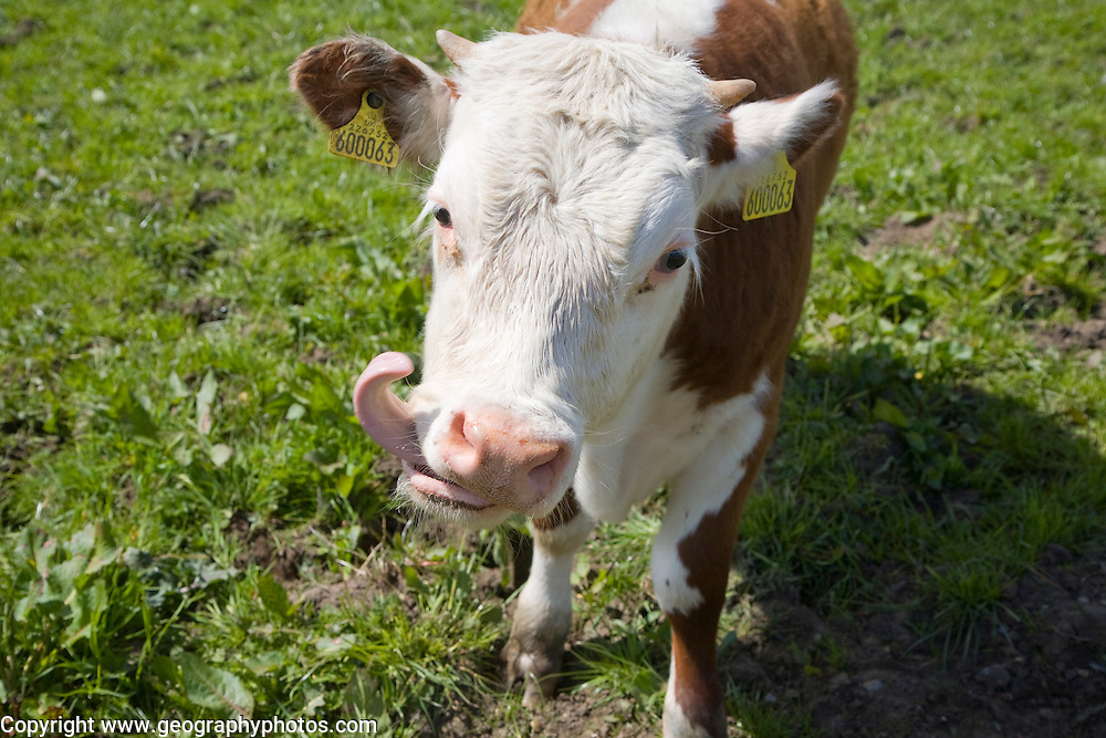Calf with its tongue out licking in a herd of pure Hereford cattle at Boyton marshes, Suffolk, England