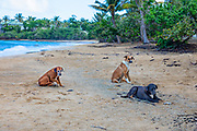 Three stray dogs, called satos, sit on El Gallito beach on the Puerto Rican island of Vieques. Throughout Puerto Rico, an estimated 200,000 abandoned or abused dogs roam the beaches and streets.