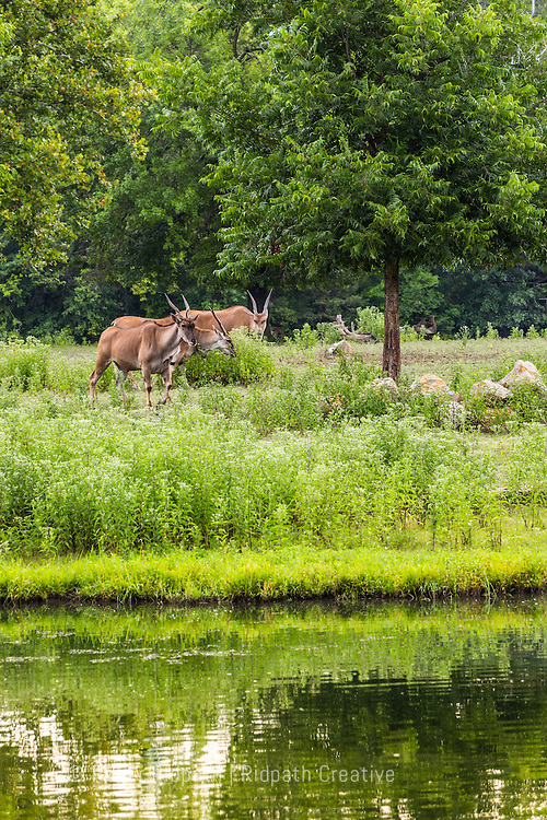 springbok grazing at Kansas City Zoo