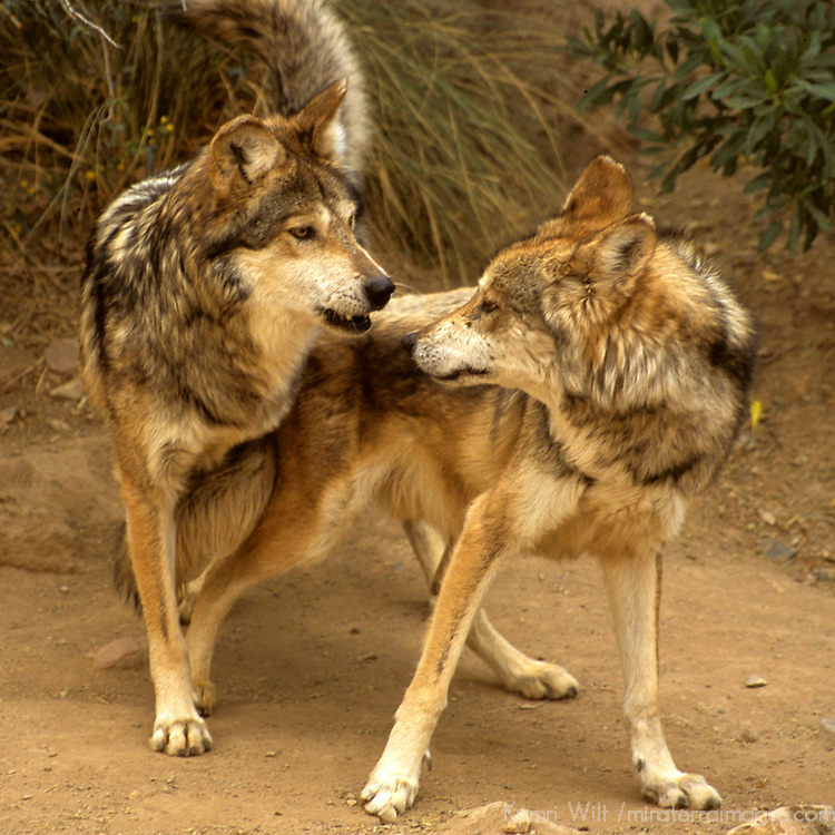 North America, Americas, United States, Arizona. Mating Mexican Gray Wolves in the Arizona-Sonora Desert.