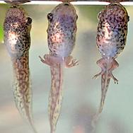 Juvenile frog in transition between tadpole and frog. Red-Eyed Leaf (Tree) Frog (Agalychnis callidryas).