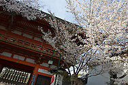 Yasaka Shrine during the sakura / cherry blossom season, in Kyoto, Japan on Sunday 16th April 2012.