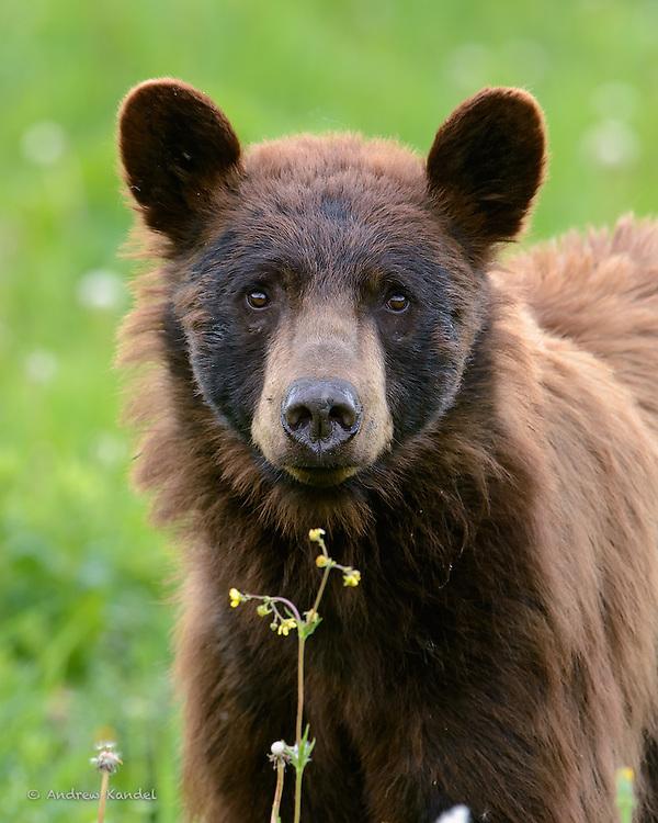 Portrait of a Black Bear, Yellowstone National Park