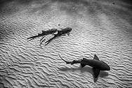 Nurse sharks together
