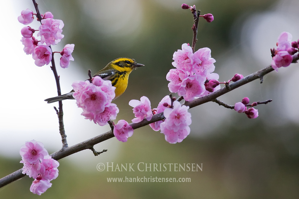 A Townsend's warbler sits atop a blossom