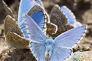 Male adonis blue butterflies (Lysandra bellargus) feeding on salts. Isle of Purbeck, Dorset, UK.