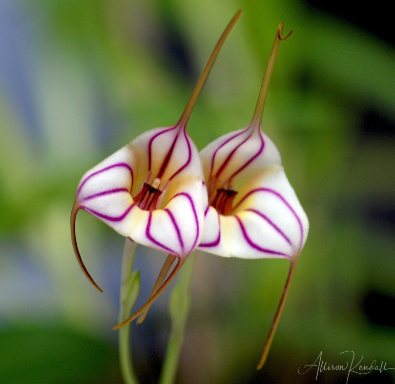 A vivid pair of pink-striped masdevallia orchid flowers<br />