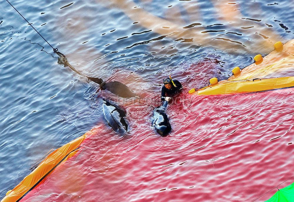 """After bleeding captured dolphins with long steel implements, a fisheries worker guides the carcass of what appears to be pilot whales, which are members of the dolphin family, at """"killer cove"""" in Taiji, Japan on 10 September  2009. Sept. 10 marked the first catch of the dolphin cull season during which around 150 dolphins were brought into the cove. A total of around 20,000 dolphins will be killed throughout Japan during the six-month season, according to the Japan Fisheries Agency..Photographer: Robert Gilhooly."""