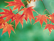 Brilliant red Japanese Maple tree leaves