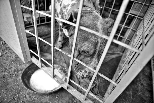 "Batearh, a gull-ter of 11 years old, is drinking milk and butter. The dog, a type of mastiff, is seven times regional champion. During the last match he was hardly injured, will die from here to few weeks, because of infections of the wounds caused during his last battle. Suburbs in Rawalpindi, Pakistan, on thursday, August 28 2008.....According to the Islamic tradition, angels do not enter a house which contains dogs. Even if they are considered ""ritually unclean"" by the jurists, the fighting dogs of Pakistan are tolerated by institutions and by believers alike. These mastiffs are grown and trained explicitly for these matches. Spectators in this area flock-in from nearby villages whenever a famous dog is scheduled to enter the arena. And this is more than just a show: entire families base their social esteem on the results of such bloody confrontations."