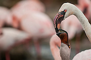 Lesser Flamingo displaying a dominance behavior on another at the San Diego Safari Park, in northern San Diego County, CA  The Lesser Flamingo (Phoenicopterus minor) is a species of flamingo occurring in sub-Saharan Africa