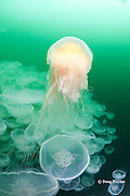 lion's mane jellyfish, Cyanea capillata, patrolling swarm or aggregation of moon jellies, Aurelia labiata, Port Fidalgo, Alaska ( Prince William Sound ); lion's mane jellies are predators that feed on moon jellyfish