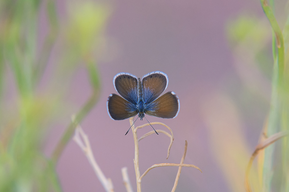 A rare view of the opened wings of a live western-pygmy-blue in Utah's Moab Desert. Touted as the world's smallest butterfly (at least this is true in North America) this one was one of hundreds I found at late dusk in Arches National Park in Eastern Utah. The wingspan at best is half an inch.