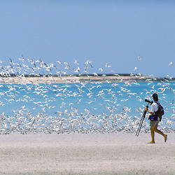 Photographer watches flock of Sooty Turns in the Lacepede Islands, Kimberley, AUSTRALIA