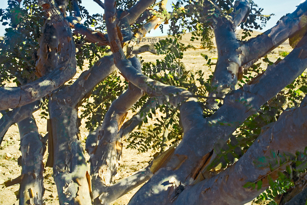 """Oman, Wadi Dawkah, frankincense trees in the desert area of the UNESCO - designated """"Land of Frankincense.""""  Closeup of branches, desert beyond. Branches are slit so that the leaking resin can be collected."""