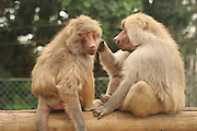 Two baboons in a zoo