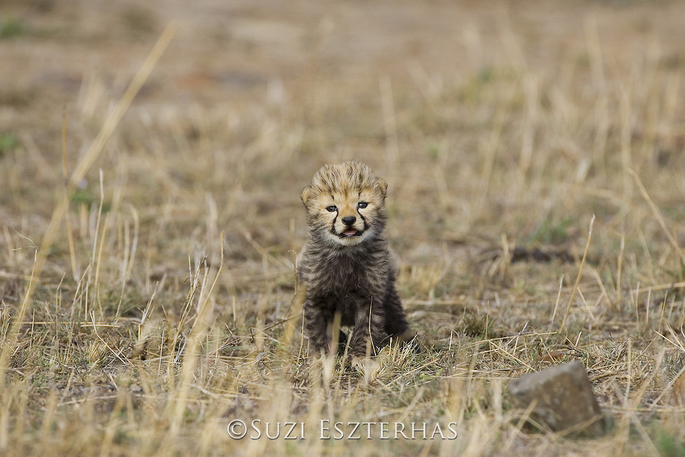 Cheetah<br /> Acinonyx jubatus<br /> 16 day old cub <br /> Maasai Mara Reserve, Kenya