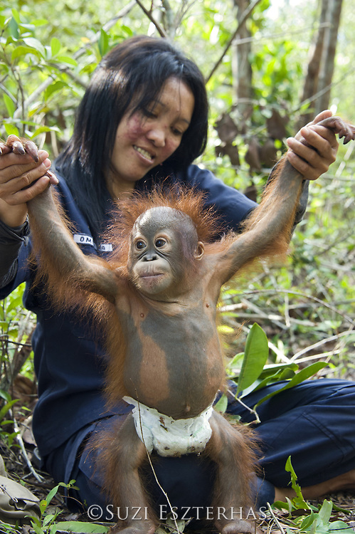 Bornean Orangutan<br /> Pongo pygmaeus<br /> Caretaker playing with infant during forest exploration and training program<br /> Orangutan Care Center, Borneo, Indonesia<br /> *No model release available - for editorial use only