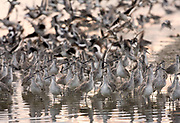 Willets are found overwintering in the Southern USA down to South America. During this time they are found in coastal marshes, mudflats and beaches, where they prey on a wide variety of fish, crustaceans, mollusks and invertebrates such as worms. While Willets pair off during the breeding season, they can form large flocks when over-wintering in suitable habitat, particularly where human disturbance is minimal. Ding Darling Nature Preserve, Fort Myers, Florida, USA.