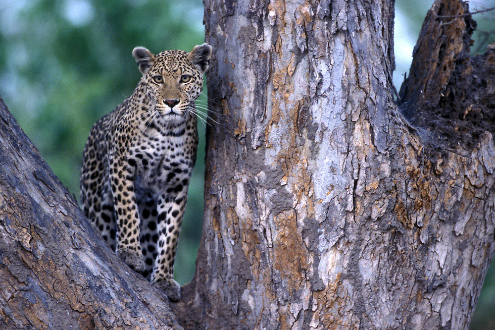 Botswana, Moremi Game Reserve, Adult Male Leopard (Panthera pardus) sits in tree near Khwai River at dusk