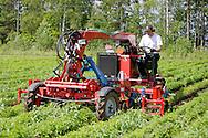 Paavo Pulkkinen haraamassa porkkanarivejä. Rikkaruohot saavat kyytiä.
