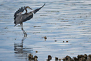 Great Blue Heron (Ardea herodias fannini) approaching to land in  the Hood Canal of Puget Sound, Washington state, USA