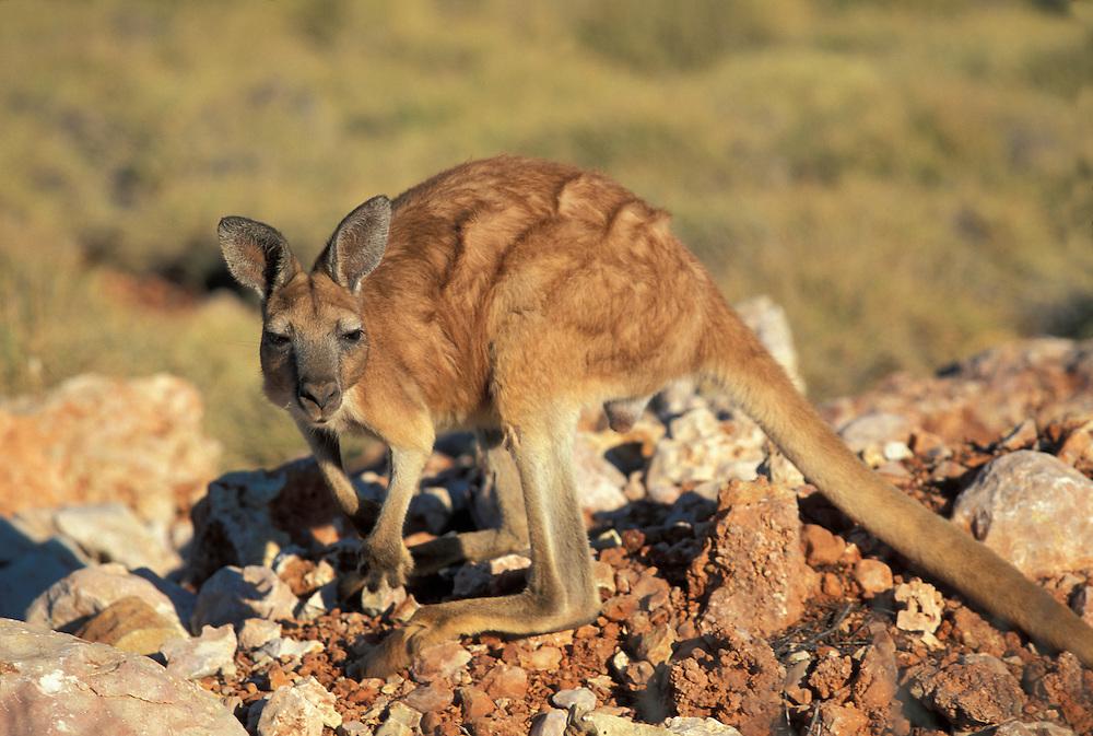 Australia, Western Australia, Male Euro (Macropus robustus isabellinus) in grassy sand on Barrow Island
