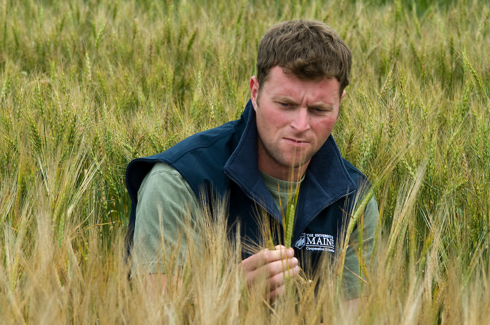 Researcher performing small grain test plots in Maine