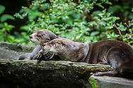 The North American river otter (Lontra canadensis), also known as the northern river otter or the common otter, is semiaquatic mammal endemic to the North American continent found in and along its waterways and coasts. An adult North American river otter can weigh between 11.0 and 30.9 lb. The river otter is protected and insulated by a thick, water-repellent coat of fur.